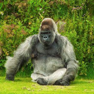 gorilla-1099264_640