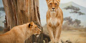 Kenya safari-lions