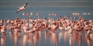 flamingos-lake nakuru