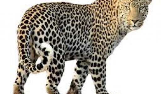 leopard12