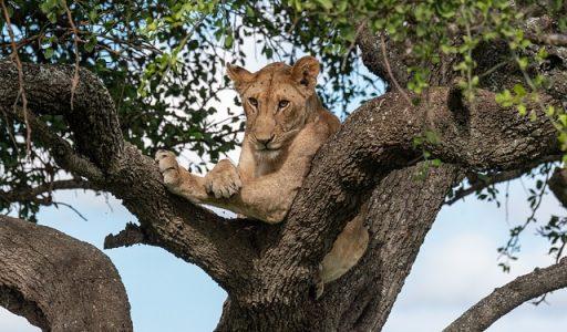 lion-4418674_640