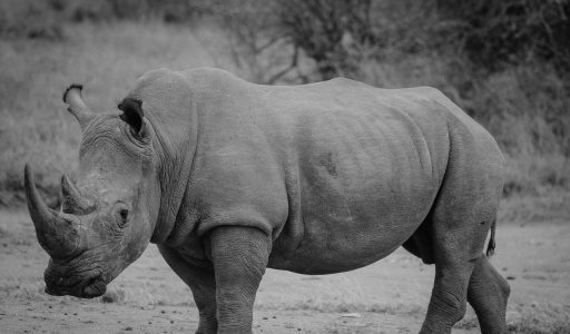 rhinoceros-lake nakuru