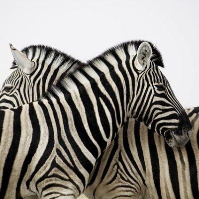 zebra tsavo safari park