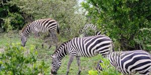 zebras in tsavo